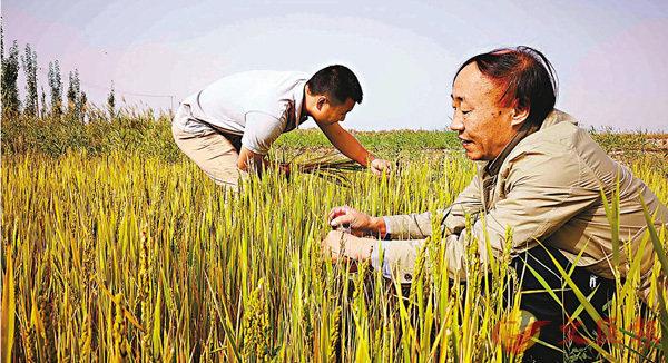 ■ 新疆喀什當地村民正在鹽鹼地上收割海水稻。 香港文匯報深圳傳真