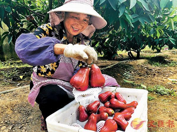 ■ 科百產業園的工人正將採摘的蓮霧裝箱。 香港文匯報記者丁春麗  攝