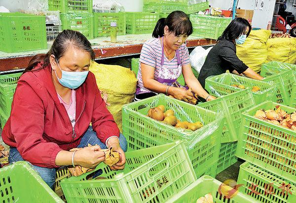 ■ 獼猴桃已成為周至縣農民致富的「金蛋蛋」。不少農民組成合作社通過微商拓開了銷路。圖中工人正忙�茪懂z獼猴桃。