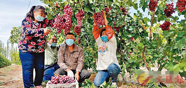 ■疫境下,電商為新疆的農產品覓得銷路。圖為農民在採收葡萄。 網上圖片