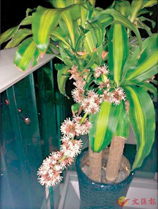●露台上的鐵樹已經奄奄一息,在鐘點菲傭的搶救下,又恢復生機,並開了花。作者供圖