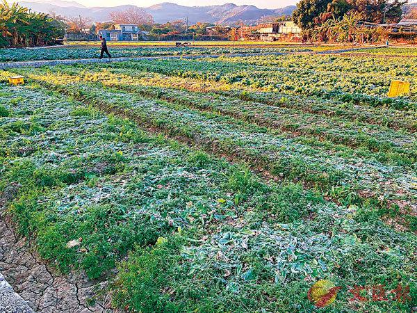 坪輋有農田的菜蔬被凍死。天文台fb Irwin Wong圖片