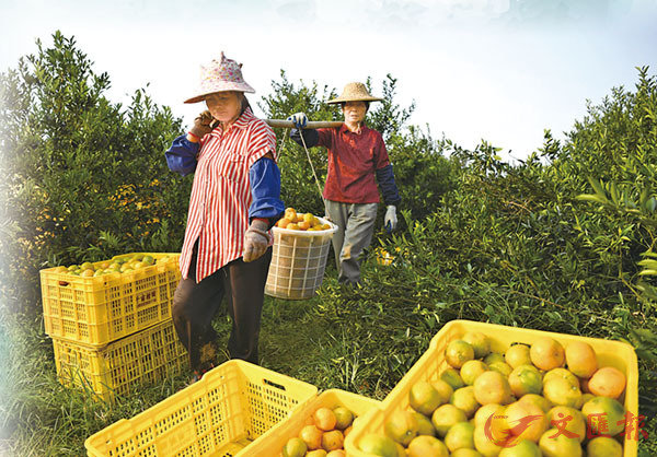 ● 2019年,新會陳皮入選全國鄉村產業振興典型案例。圖為廣東省江門市轄區新會,到處都是採摘、開果、晾曬的場面。 新華社