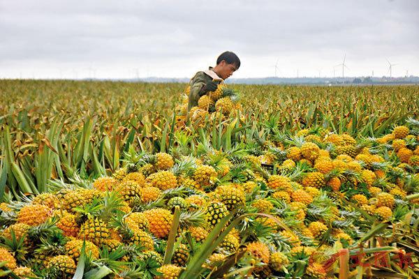 ● 「中國菠蘿之鄉」廣東徐聞縣的菠蘿種植戶正在忙採摘菠蘿。   中通社
