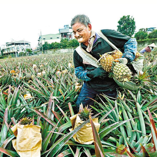 ● 自蔡英文上台以來,一直宣稱所謂的「新南向政策」,希望島內企業棄大陸而轉向東南亞,諷刺的是,「新南向政策」實施5年來,台灣農產品出口大陸不降反升。圖為3月4日,台灣屏東農民在採收鳳梨。中通社