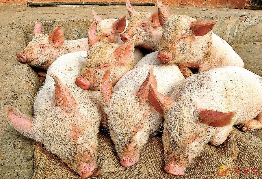 ● 業界認為禁止豬肉製品含瘦肉精應一視同仁,確保貿易公平。圖為豬隻養殖場。 資料圖片
